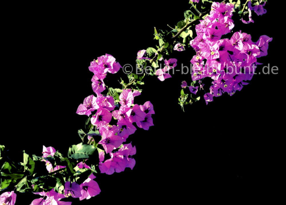Flower Postcard B-051 / Bougainvillea